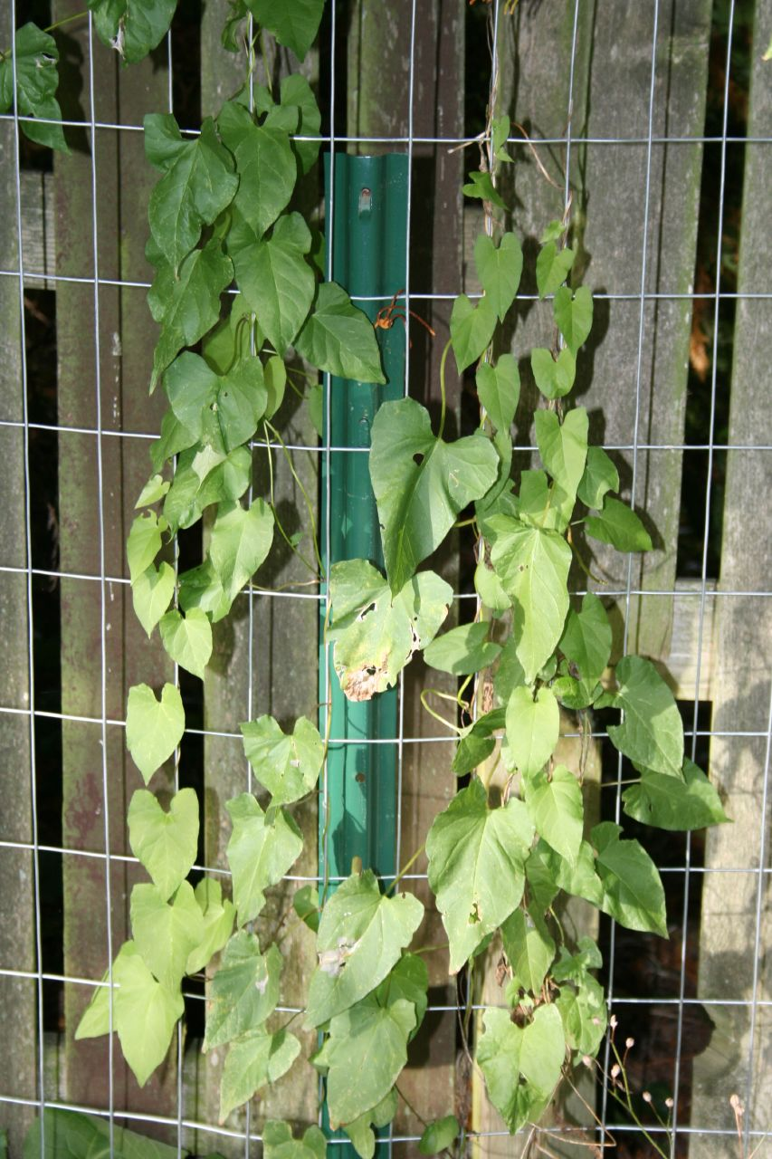 Morning glory diseases pictures