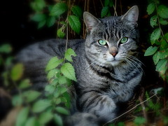 Honky Cat (flipkeat) Tags: friends pet cats pets cute nature animal animals cat wonderful outdoors interesting furry feline chat different searchthebest awesome adorable greeneyes gatto honky  potofgold portcredit abigfave bestofcats takeitoutside naturewatcher theperfectphotographer goldstaraward natureselegantshots rubyphotographer dsch50 100commentgroup furandfeatherswithattitude