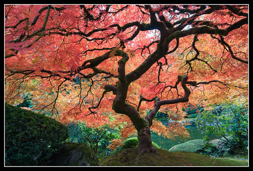 jap_garden_maple_tree / ahp_ibanez