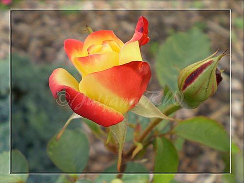 Mix Roses
