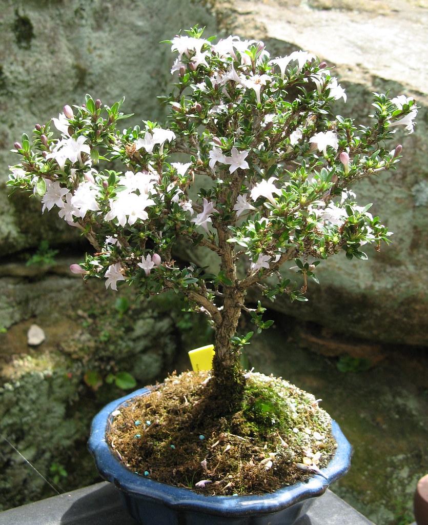 OakBonsai Serissa Foetida Snow Rose Japanese Boxthorn