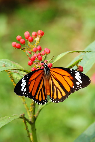 蝴蝶 Butterfly
