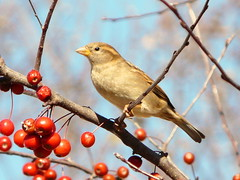 Beauty in the Trees (chippewabear) Tags: trees winter birds backyard birdwatching crabapples goldstaraward