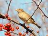 Beauty in the Trees (chippewabear) Tags: trees winter birds backyard birdwatching crabapples goldstaraward