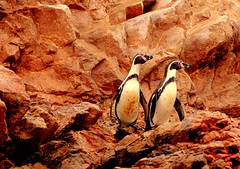 for my excellent student Aristi ! (evamathemat) Tags: peru animal island couple eva soe pinguins mywinners abigfave impressedbeauty nikond300 goldstaraward evamathemat