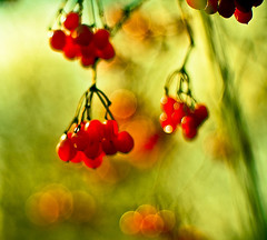 Christmas berry bokeh (raceytay {I br♥ke for bokeh}) Tags: ineffable hbw bokehlicious christmasberries bokehberries bokehwednesday infable happyberrywednesday hggt gorgeousgreenthursday hbwh saturatedberries theseareoversaturatedbutilikeem didisaysaturated gettysubmitted artistpicks addtogetty