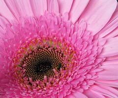 Pink is beautiful (ToJoLa) Tags: pink canon gerbera 2008 aaa roze bloem excellence abigfave aplusphoto canong9 goldstaraward theperfectpinkdiamond
