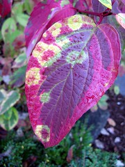 Gorgeous Colorful Leaf, NOT Photoshopped (Pixel Packing Mama) Tags: fantastic fourseasons 4seasons pixelpackingmama dorothydelinaporter plantlifenotnecessarilyflowersset itsmulticoloredpool closerandclosermacrophotographypool canonallcanonset fallintoautumnpool thecorvallisoregonyearsset worldsfavoritepool thecorvallisoregonyearspart5set canonpowershota720isset thatsgettingupclosepool autumn2008pool allthingsmacropool autumnfallcolorsandthemespool uploadedsecondhalfof2008set multicoloredmiscellaneousset favoritedpixfirsthalfof2010set favup032910 pixelpackingmama~prayforkyronhorman oversixmillionaggregateviews over430000photostreamviews