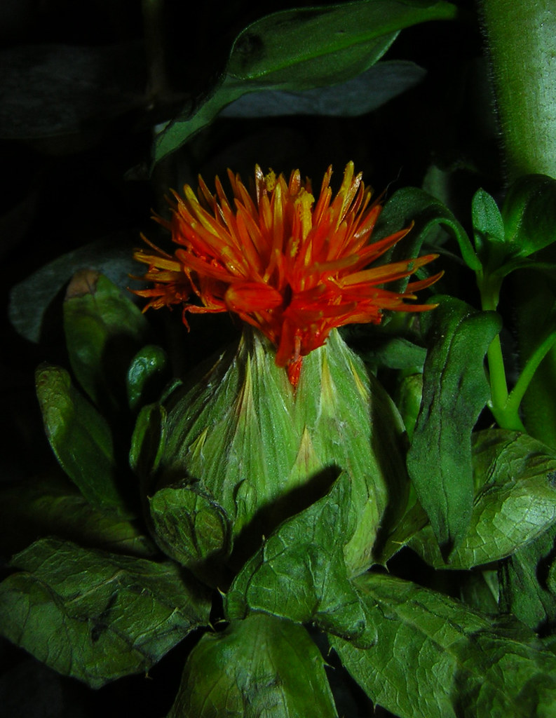 Carthamus Tinctorius Safflower: The World's Most Recently Posted Photos Of Carthamus And