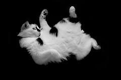 [フリー画像] 動物, 哺乳類, 猫・ネコ, モノクロ写真, 201004021700