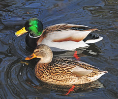 To be of one Mind (Habub3) Tags: lake green nature water animal fauna reflections germany deutschland see photo duck nikon wasser europa europe stuttgart natur feather explore mind grn enten ente glance herz tier seele reflexionen plumage d300 glanz federn gefieder einherzundeineseele mywinners viewonblack impressedbeauty flickrdiamond tobeofonemind flickr2009 habub3