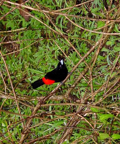 Ramphocelus passerinii, Tangara grande