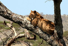 Climbing Lioness (@Doug88888) Tags: pictures africa wood travel wild woman tree girl female cat canon tanzania eos image wildlife watching hunting lion picture images east safari climbing bark buy serengeti lioness purchase eastafrica 400d doug88888