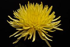 Bursting Yellow (Mistur Photography) Tags: flower floral yellow nikon vivid excellence spidermum catchycolorsyellow d90 strobist nikoncls platinumphoto afsnikkor2470mmf28g