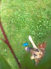 (mebemelissa) Tags: summer dog tree grass leaves toy outside leaf spring shepherd branches abby german