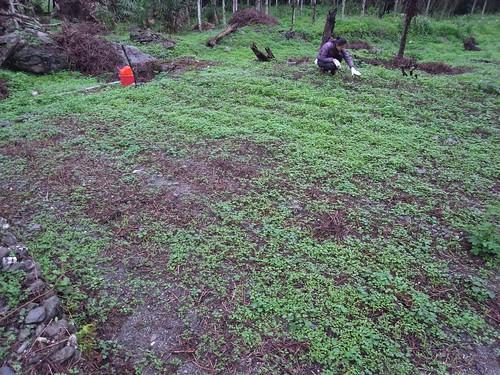 鳳林自然農田 山上旱稻