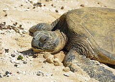 Sea Turtle at Haleiwa Beach (d.r.garvin) Tags: vacation water hawaii sand nikon oahu shore haleiwa seaturtle