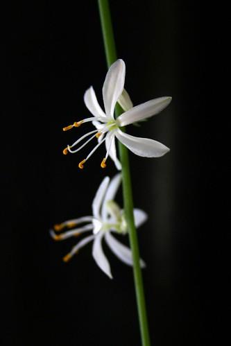 Elfin flower I