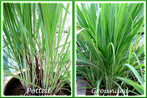 Cymbopogon citratus: see the difference in growth form between potted and grounded Lemon Grass plants