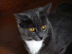 Percy, Alarmed (hpaich) Tags: desktop wallpaper orange cats white eye cat fur grey eyes feline background gray kitty ears whiskers ear kitties stare felines desktopwallpaper percy desktopbackground