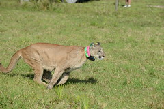 FW2_4936 (MyFWCmedia) Tags: animal florida wildlife release conservation panther fwc floridafishandwildlife myfwc myfwccom injuredpanther