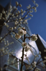 (y_katsuuu) Tags: flower film fuji ume provia100f  contaxs2 distagon28mmf28