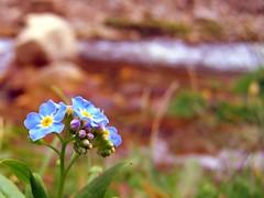 Forgetmenots Left by Stream (blucolt) Tags: flowers blue summer flower macro green yellow river frames spring focus stream dof purple south forgetmenot dakota 2007 spearfish flwoers cmwdblue blucolt