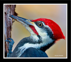 Grand Pic / Dryocopus Pileatus / Pileated Woodpecker (RichardDumoulin) Tags: canada woodpecker grand pic qubec richard pileated dumoulin colorphotoaward vosplusbellesphotos