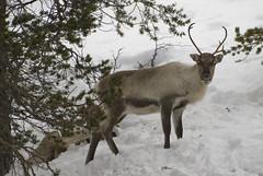 2008 03 02 sweden 109_edited-1_web (Malcolm Bull) Tags: digital reindeer photo nikon image sweden photograph nikkor dslr caribou include d80 arjeplog
