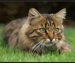 nemo chasse (Nelix) Tags: cats france cat kitten kat chat kitty gato katze gatto minou purrfect minette europeen ppf200911 ppn200911