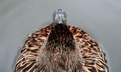 Duck view. (P Villerius) Tags: bird water strange weird duck rotterdam funny view angle top beak eend