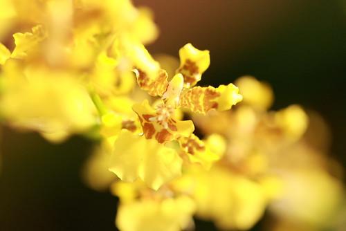Valentine Orchid