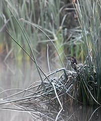 Le coeur est un oiseau (Rock Arsenault) Tags: oiseaux faune