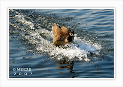 Running on Water ('Meeze.') Tags: water duck wing