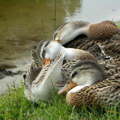 naptime (shantaya ~ dannie) Tags: sleeping cute love bravo nap ducklings mallard babysitting palabra naturesfinest firstquality animalkingdomelite mywinners