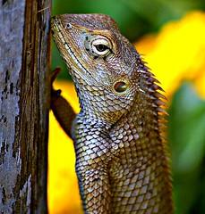 Lizard (Sanky S) Tags: eye animal bokeh creepy lizard spine creature pune supershot outstandingshots sarasbaug totalphoto visiongroup newacademy proudshopper vision100