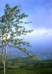 Near Haputale, Ceylon, 1969 (east med wanderer) Tags: 1969 tea hills plantation srilanka ceylon haputale theindiatree