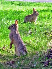 Visitors (misseskwittys) Tags: cute bunnies yard rabbits misseskwittys