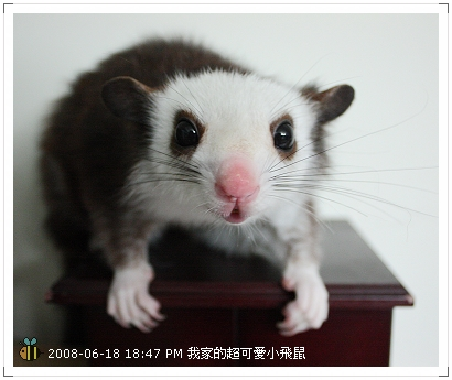 可愛小飛鼠 (4)