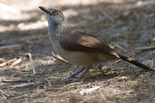 Brown Babbler; Sahelbabbelaar; Turdoides plebejes by jwsteffelaar.