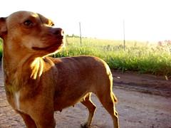 tchukinha na rua (parttimefarm) Tags: dogs brasil dirtroad echapora fazenda tchukinha