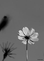 Yellow cosmos in monochrome (Inkblots) Tags: bw flower nature monochrome sepia mono philippines olympus zuiko cosmos floraandfauna bws monologues olympuse510 dingfuellos larawangpinoy philippinephotographicsociety inkblots dgfmono