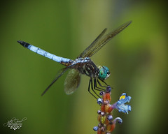 turquoise eyes (jaki good miller) Tags: insect interestingness wings dragonfly explore exploreinterestingness jakigood pondlife naturesfinest top500 explorepage insectsandspiders explored explorepages