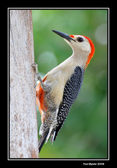 Red-bellied Woodpecker (Paul_Wheeler) Tags: red bird nature mexico woodpecker bravo searchthebest wildlife redbelliedwoodpecker avian melanerpescarolinus themoulinrouge naturesfinest blueribbonwinner supershot bej golddragon animalkingdomelite mywinners abigfave platinumphoto anawesomeshot impressedbeauty ultimateshot avianexcellence ysplix 15challengeswinner betterthangood theperfectphotographer