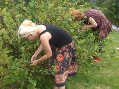 Vi plukker bær