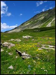 Splügenpass, Switzerland/Italy (schromann) Tags: italien flowers summer italy mountain alps schweiz switzerland pass meadow barren splügenpass