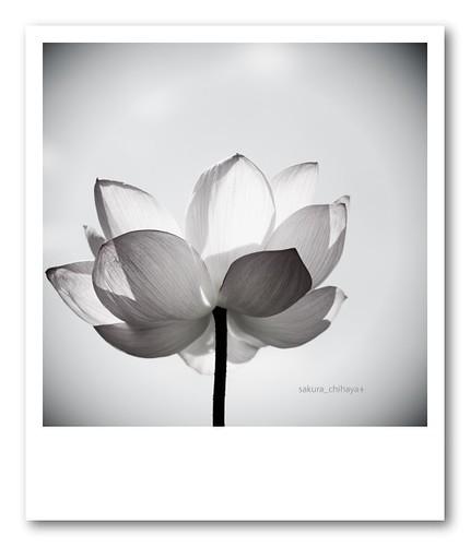 2515 : Lotus2008#10 - Pola Style -