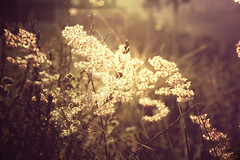 Fields of Gold (priska febrinia) Tags: morning light grass golden bokeh peaceful serene goldie magicallight