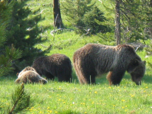 Grizzly Bear Mom and Two Cubs Closeup