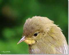 Common Yellowthroat (byard) Tags: bird nh juvenile keene commonyellowthroat geothlypistrichas ashuelotriverpark photofaceoffwinner pfogold k201552coye